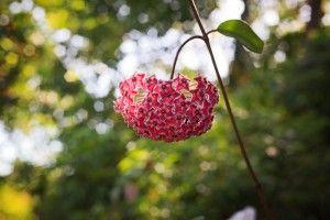 Hoya carnosa vermelha